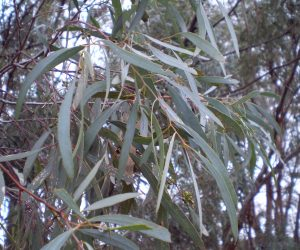 Oil Drops of Wisdom – Eucalyptus