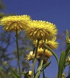 Oil Drops of Wisdom – Helichrysum
