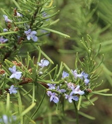 Oil Drops of Wisdom – Rosemary